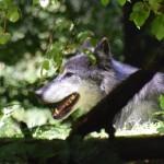 Fritz vom Edersee, der Wolf wolft