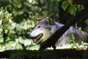 """Gemeinsame Verbändeerklärung """"Weidetiere konsequent vor dem Wolf schützen"""""""