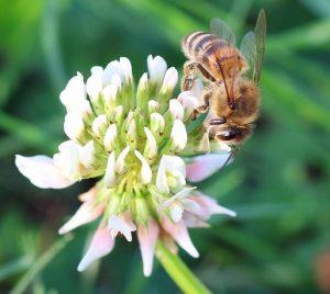 Starkenburg blüht für Bienen & Co.