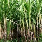 RuBisCo - das für die Fixierung des CO2 verantwortliche Enzym bei der Photosynthese