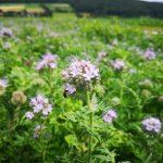 Landwirte bringen Starkenburg zum Blühen